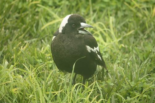 Magpie warbling