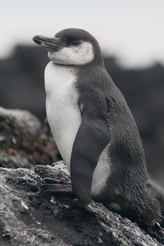Galapagos Penguin by DJG.Sydney