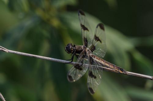 Dragonfly_0571.jpg