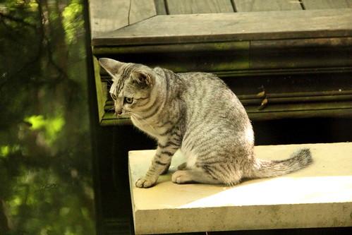 老英格蘭之貓