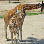 Giraffe Mom and Baby Reticulated aka Somali (Giraffa camelopardalis reticulata)