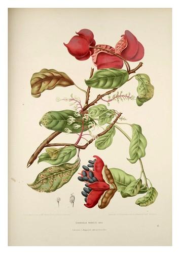 008-Pin Po o manzana de la mujer vieja-Fleurs, fruits et feuillages choisis de l'ille de Java-1880- Berthe Hoola van Nooten