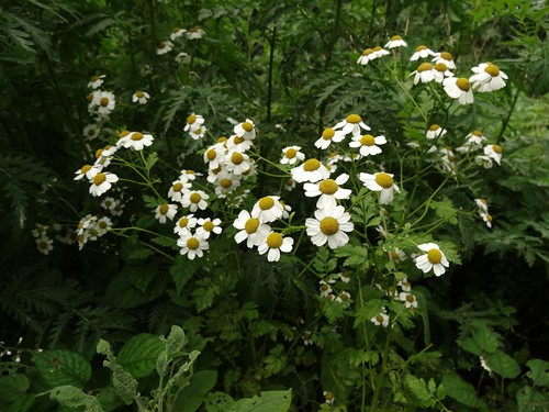 Feverfew at Dove Cottage