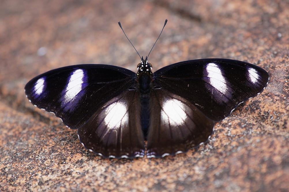 07-琉球紫蛺蝶