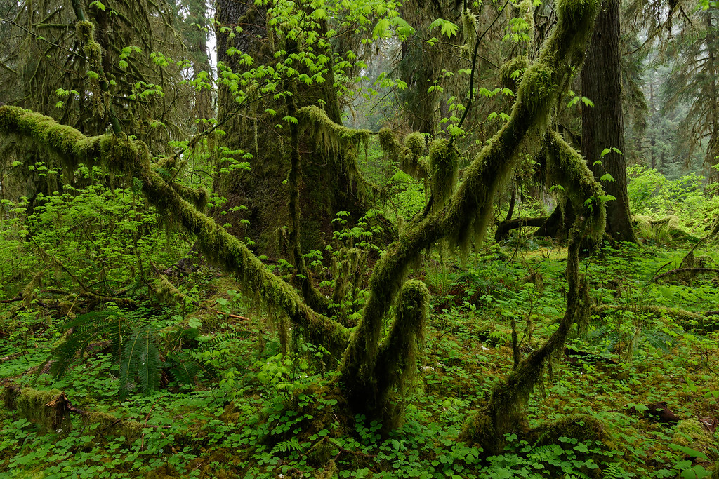 Everything is green in the Hoh Rain Forest