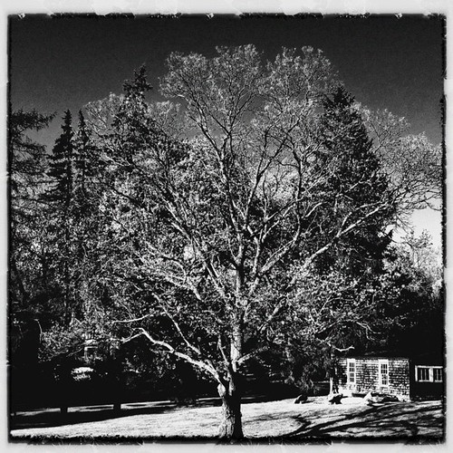 Walnut Tree #iphoneography