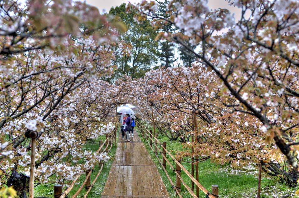 A walkway of sakura