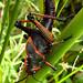Massive stylish grasshoppers. Puerto Viejo, Costa Rica 28APR12