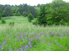 prato di fiori viola