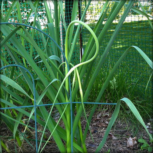garlic scapes in my garden