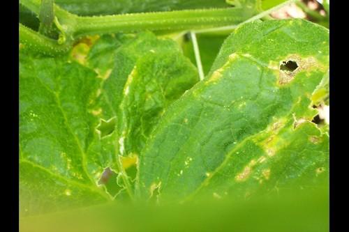 Cucumber Leaf D