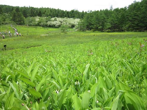 入笠湿原とスズラン 2012年6月32日 by Poran111