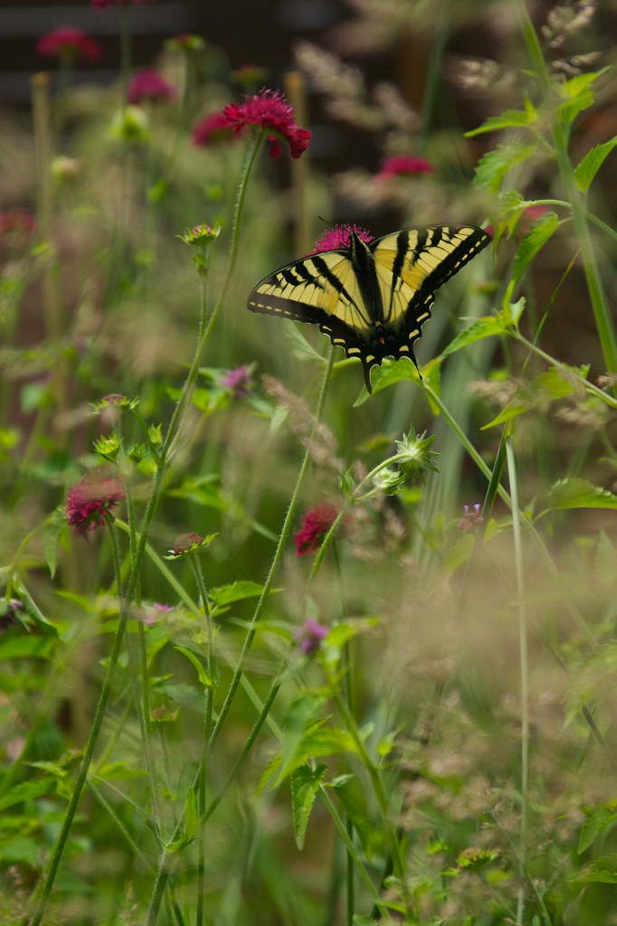 swallowtail on knautia  1835