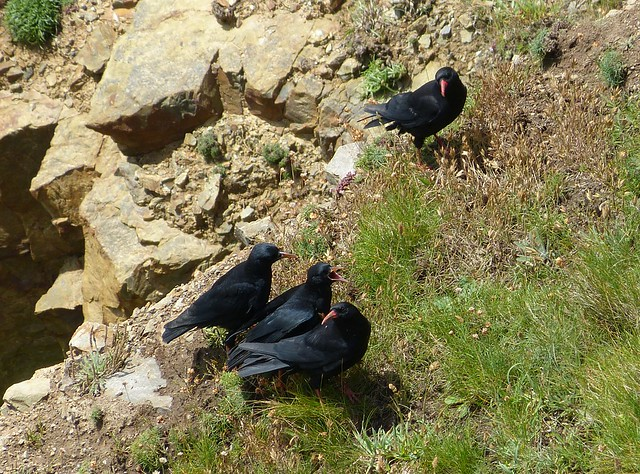 27459 - Chough Family, Nartins Haven