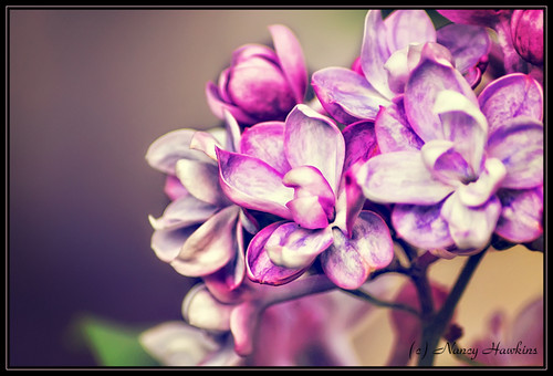 Lilac by Nancy Hawkins