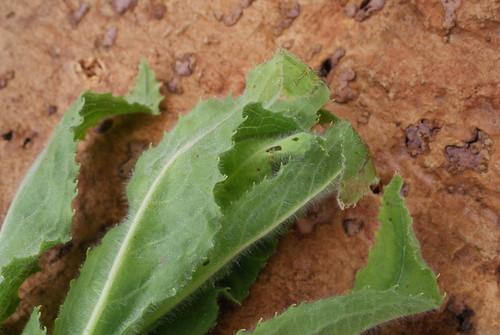 Mompha epilobiella larval spinning