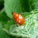 Small photo of Chrysomelidae: Eumolpinae