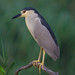 Black Crowned Night Heron by Jerry_a