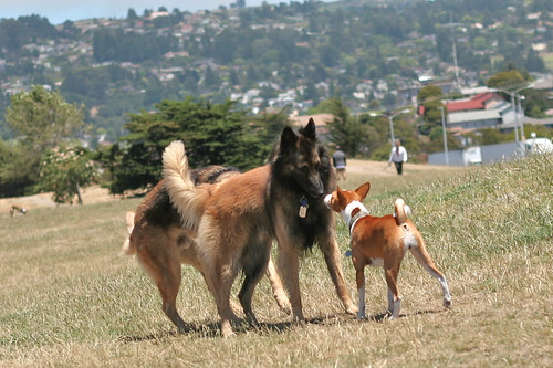 30 June 2012 Congo Terrier rises up against Belgian Tervuren