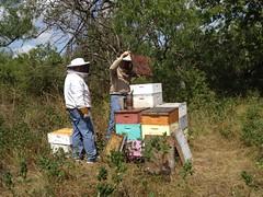 Fuming hives at Rattlesnake