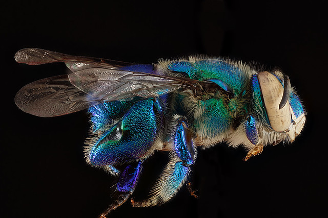 Euglossa-dilemma,-male,-side_2012-06-27-17.32.14-ZS-PMax