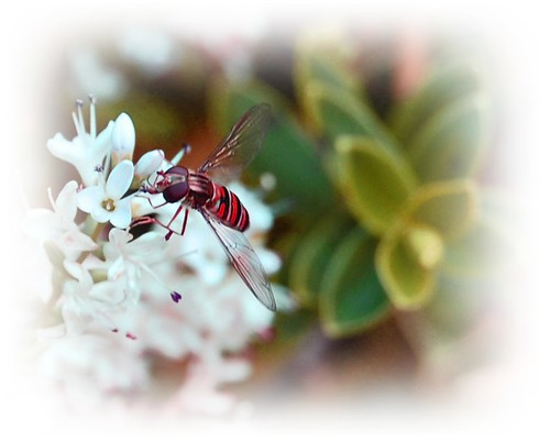 An unusual red hoverfly aka Hoverflius Reddus Adobius :)