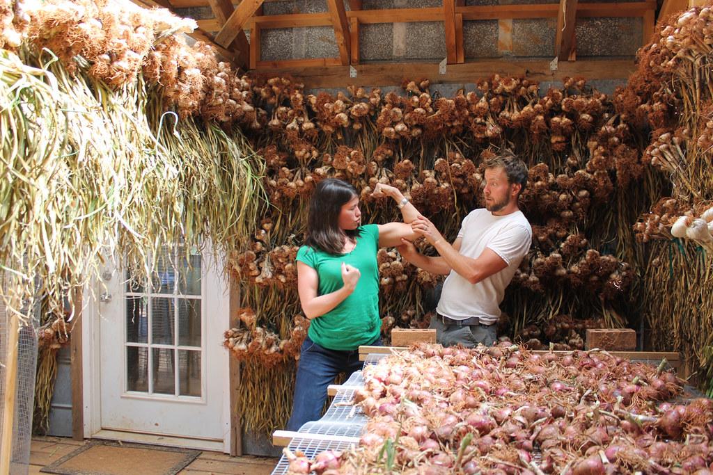 Garlic and onion harvest at Dutch Buffalo Farm