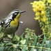 Yellow-throated Warbler - January 2, 2012