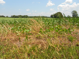 Drought soybeans