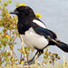 Magpie by Roger's Photos59