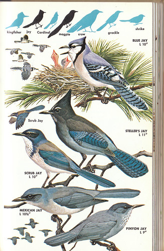Golden Guide jays