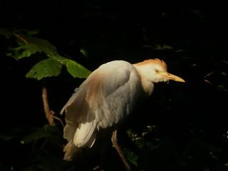 GarcillaBueyera