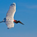 Jabiru - Brazilian Birds - Species # 045 by Bertrando©