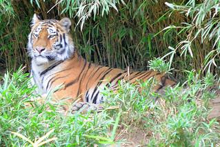 Image of トラ near Hino. zoo 動物園 tamazoo tamazoologicalpark 多摩動物園