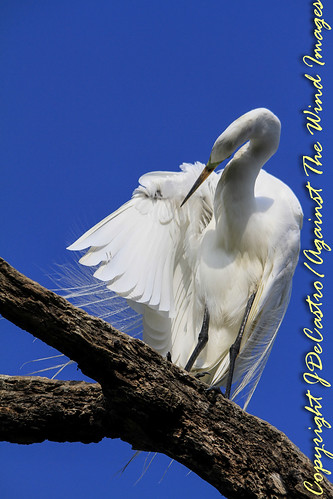 Preening Egret-3224 by Against The Wind Images