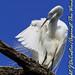 Preening Egret-3224