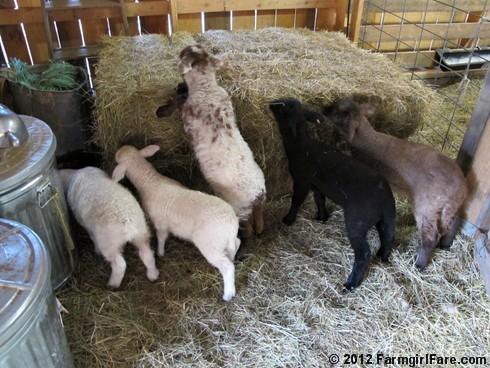 Random Lamb Snaps 12 - FarmgirlFare.com