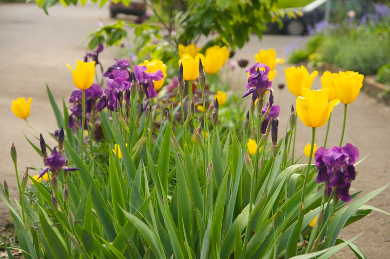 purple iris yellow tulip  1576