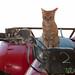 Cat on Quad Bike - Hurghada, Egypt