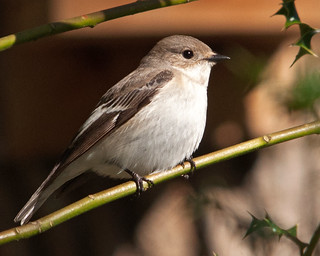 Female Pied Flycatcher (Carole's)