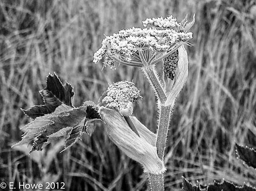 Edie's Image of the Day: Cow Parsnip
