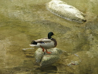Mallard, Spring Creek Trail
