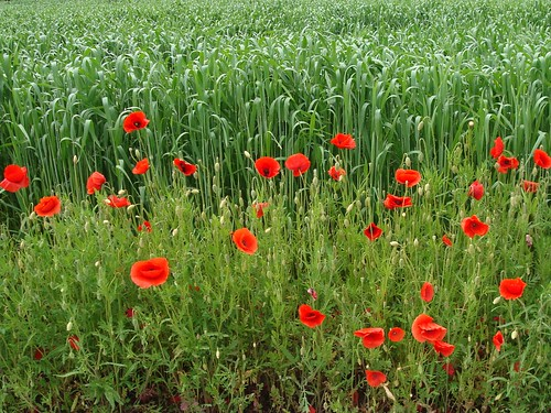 Some nice poppies along the way...