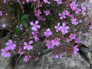 Saponaria acymoides=Saponaire faux basilic