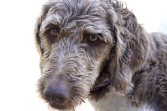 boykin spaniel(0.0), poodle crossbreed(0.0), field spaniel(0.0), dandie dinmont terrier(0.0), wirehaired pointing griffon(1.0), dog breed(1.0), animal(1.0), dog(1.0), schnoodle(1.0), petit basset griffon vendã©en(1.0), pet(1.0), otterhound(1.0), glen of imaal terrier(1.0), spinone italiano(1.0), cockapoo(1.0), goldendoodle(1.0), carnivoran(1.0),