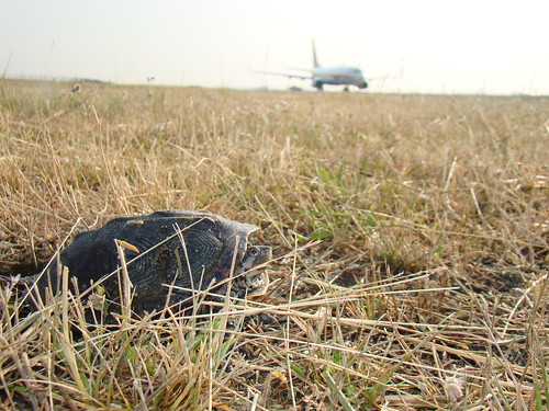 An adult Diamondback terrapin too close to the JFK runway. Courtesy of Jenny Mastanuono.