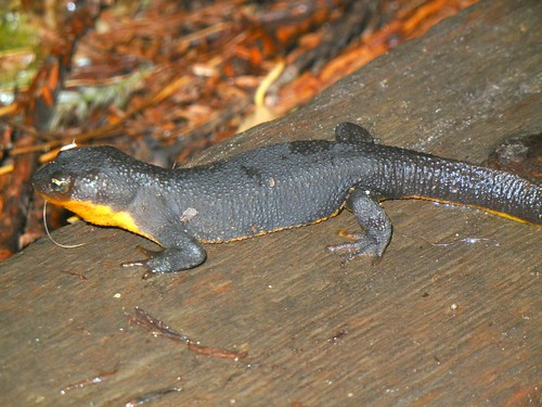 rough skin newt