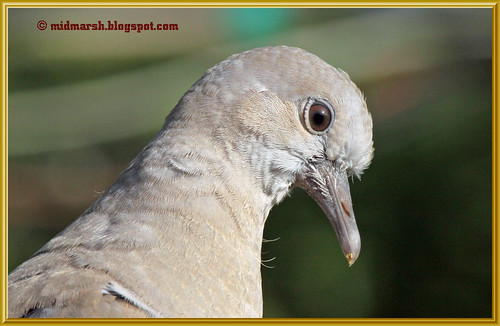 Juvenile Collared Dove 4379