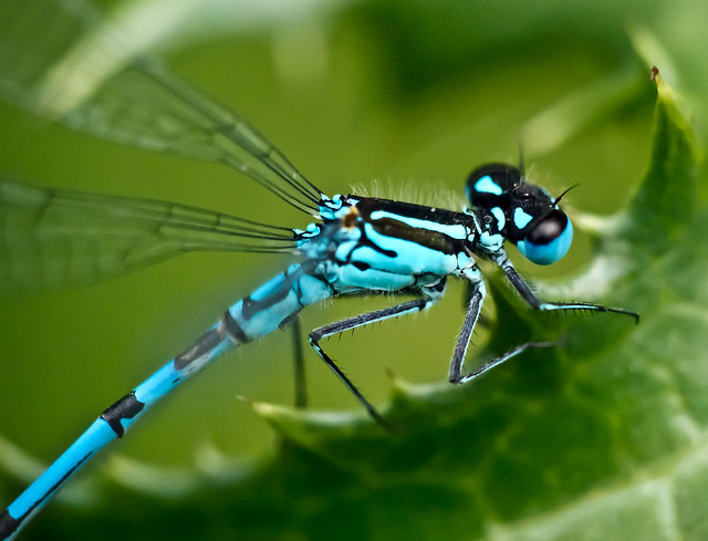 azure damsel flies fly - photo #2