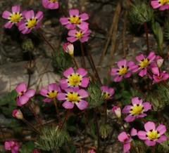 garden cosmos(0.0), annual plant(1.0), flower(1.0), plant(1.0), flora(1.0), herbaceous plant(1.0), petal(1.0),